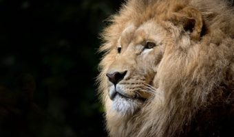 夢占いライオンの夢の7つの意味!あなたはライオンと何をした?